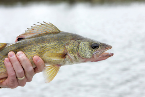 Catch a Walleye From the Shore