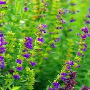 Grow Hyssop at Home