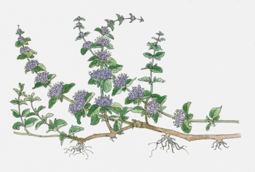 Tips about How to Grow Pennyroyal at Home