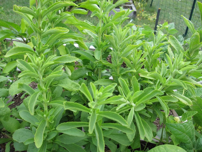 Grow Stevia at Home