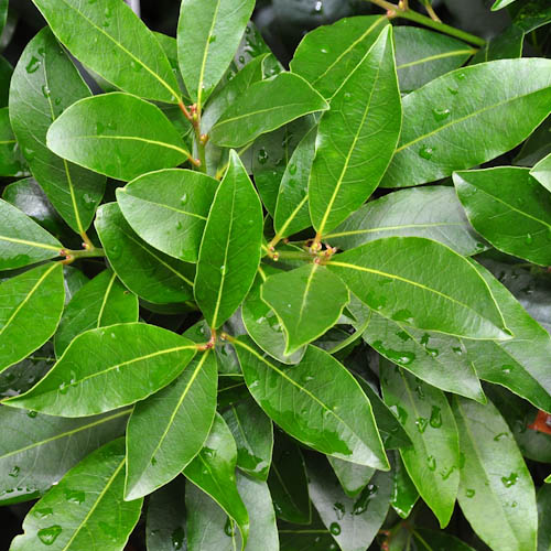 How to Grow Sweet Bay Tree at Home