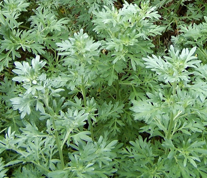 Grow Wormwood at Home