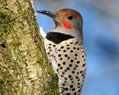 Tips about How to Identify a Northern Flicker