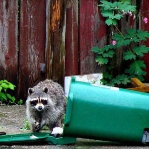 Raccoons out of a Trash Can