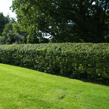 How to Lay a Hawthorn Hedge