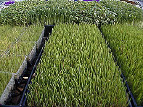 Difference Between Barley and Wheatgrass