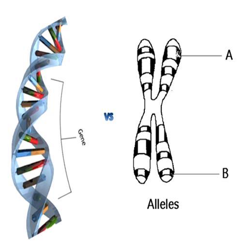 Gene and Allele
