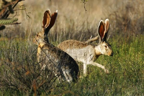 Difference Between Jack Rabbit and a Hare