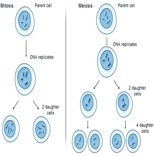 an overview of the principles of mitosis and meiosis Principles of genetics pages  mitosis and meiosis, while both types of cell  division, are somewhat different prophase is the early stage of cell division in  which.
