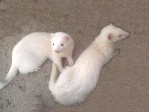 Identify the Difference Between Pole cat and Ferret