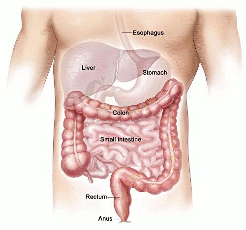 Human intestine
