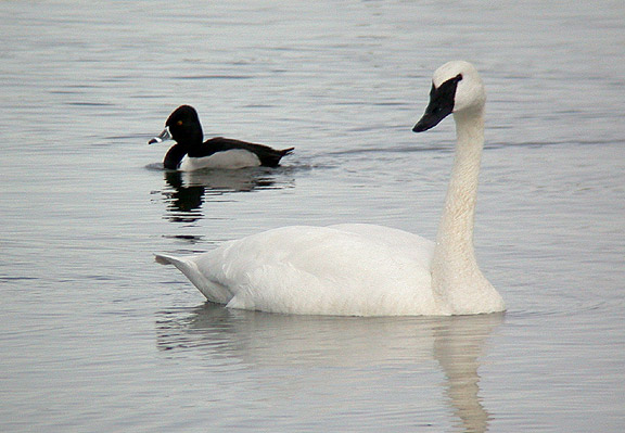 Swan and Duck