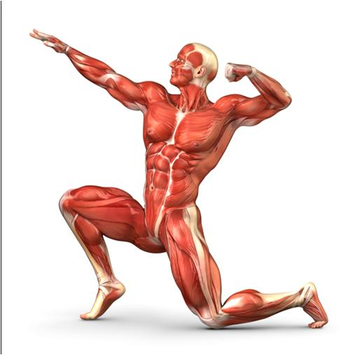 Voluntary and Involuntary Muscles