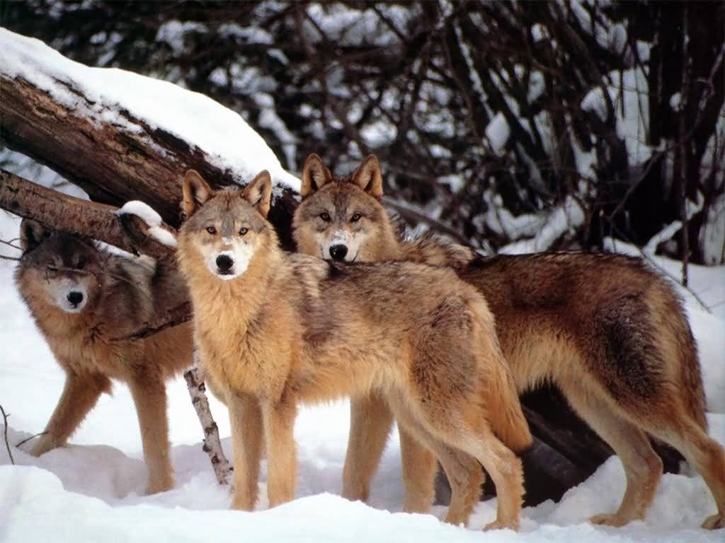 wolves and foxes