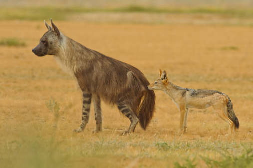 Know the Difference between Hyena and Jackal