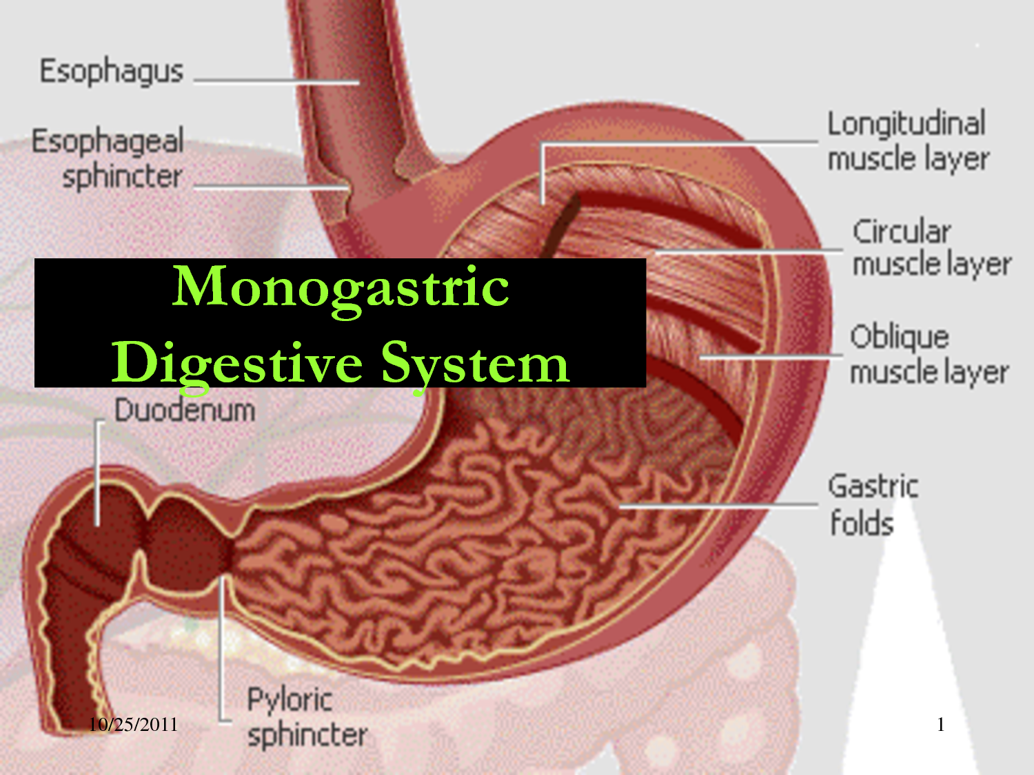 Know the Difference between Monogastric and Ruminant