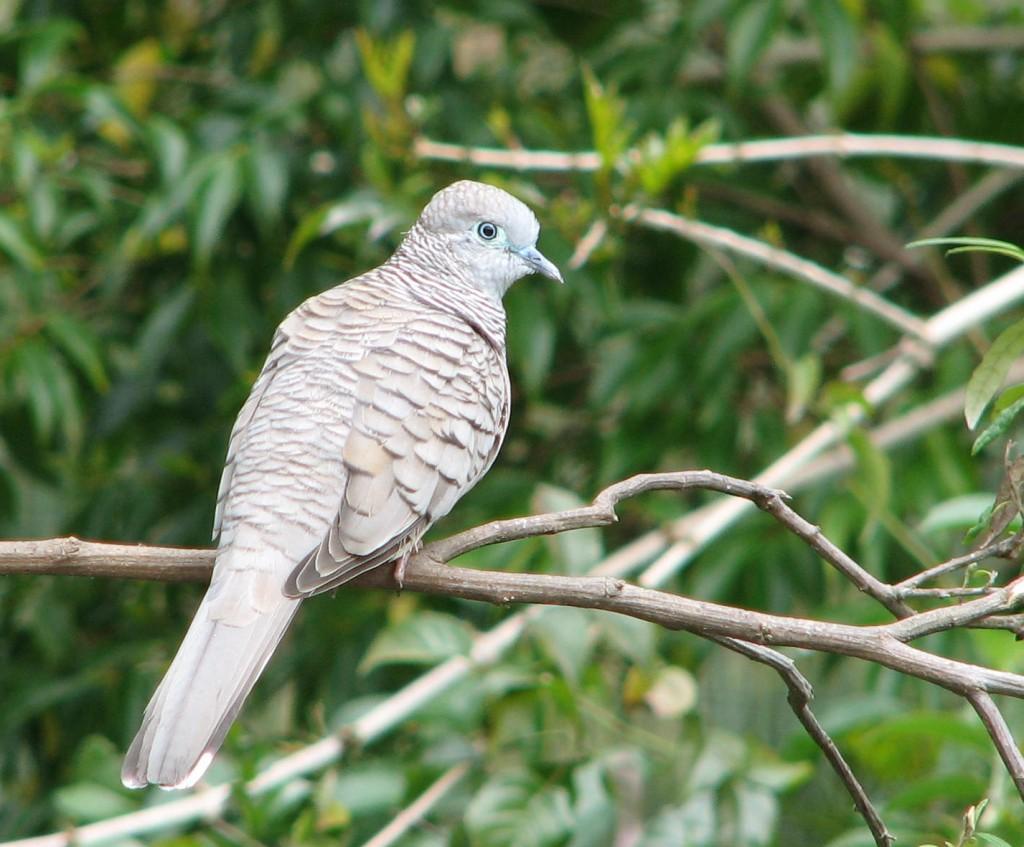 Dove in a garden