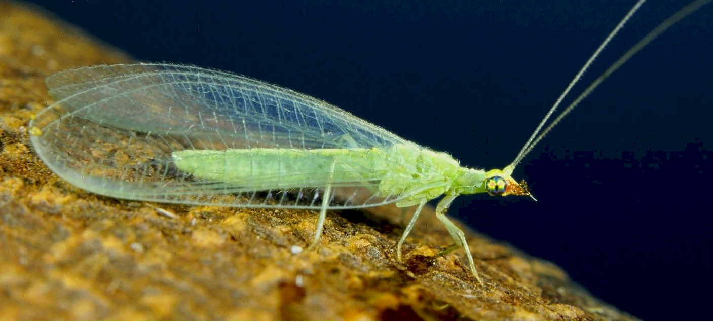 How to Buy Green Lacewings