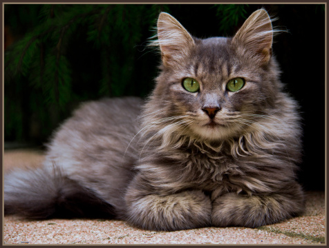Tips about How to Care for a Longhaired Manx