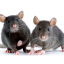 Control Rodents in your Home