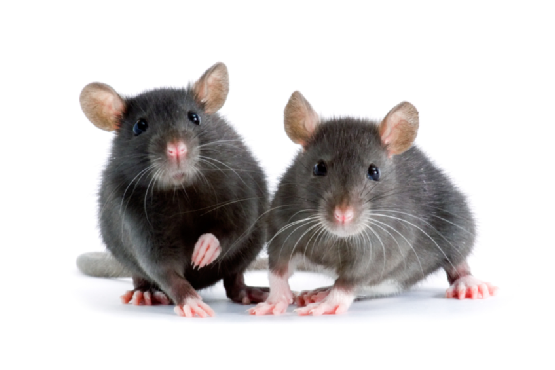 How to Control Rodents in your Home