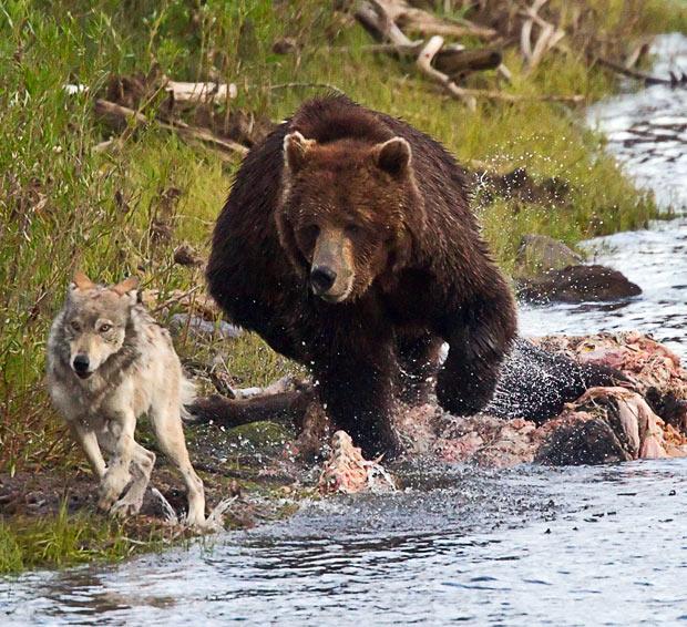 How-to-Defend-Polar-Bears-and-Wolves1 Сербская песня - Русские идут Люди, факты, мнения
