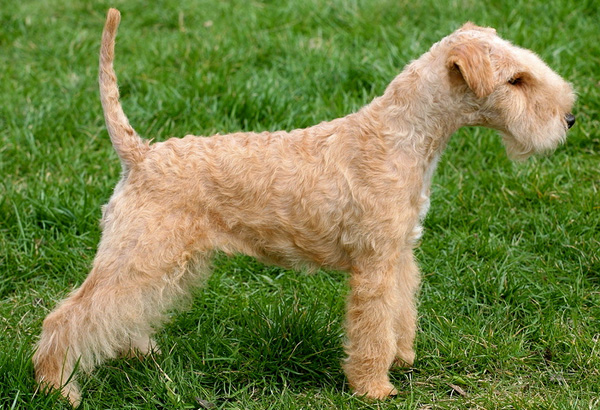 Tips about How to Groom a Lakeland Terrier