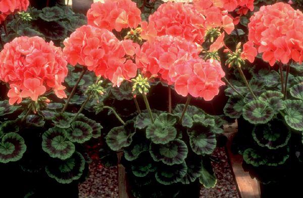 Grow Annual Geranium