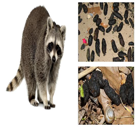 Raccoon Poops