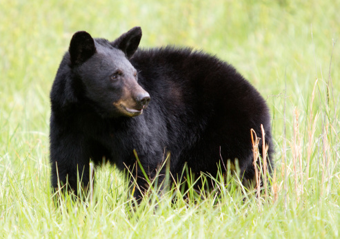 Tips about How to Photograph Black Bears
