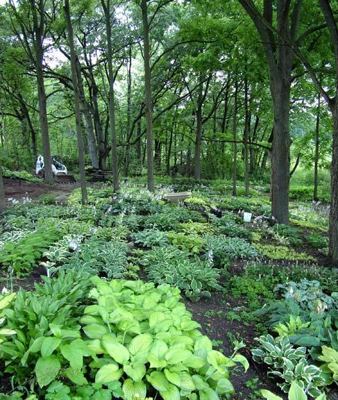 Plant Under Black Walnut Trees