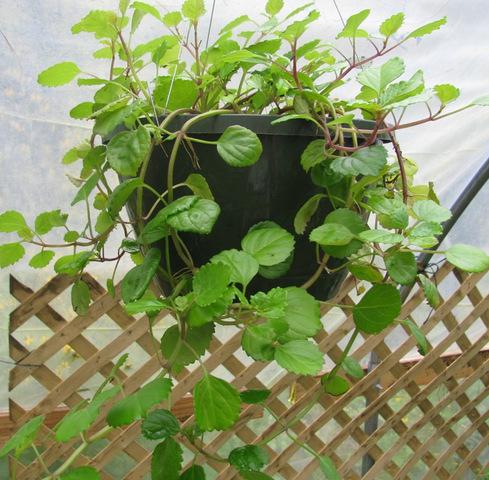 Propagate Swedish Ivy