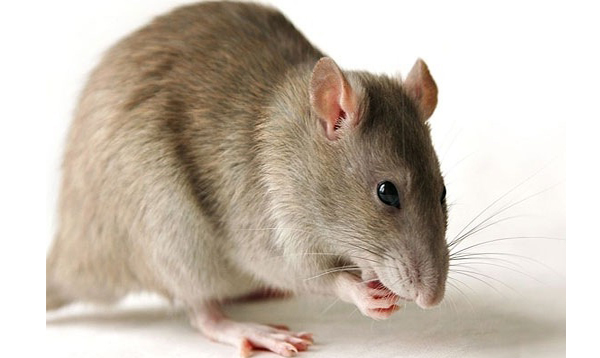 Tips about How to Rid Your Apartment of Rats and Mice