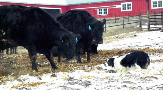 Cattle Herding Dog