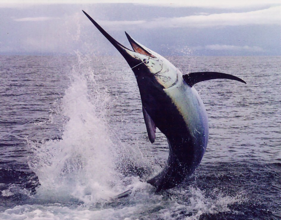 Difference Between Swordfish and Marlin