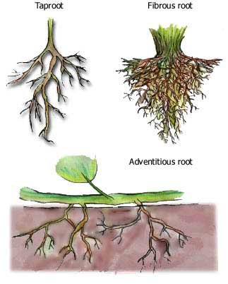 Tap Root and Fibrous Root