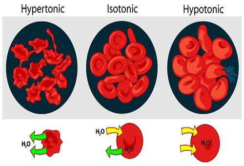 how do hypotonic hypertonic and isotonic The reverse is true for a hypertonic environment which would see water leave the cell to diffuse into the environment and in an isotonic environment, solute concentrations are equal for the environment and the inside of the cell.