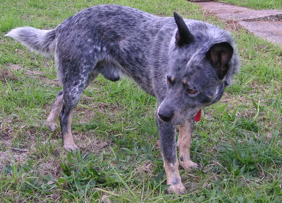 ... Photos - Australian Cattle Dog Blue Heeler Catahoula Leopard Dog Mix