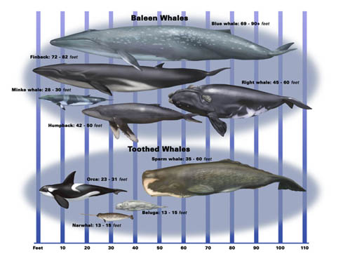 Baleen and Toothed Whales