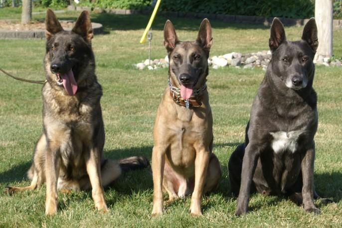 Difference Between Belgian Malinois And Dutch Shepherd