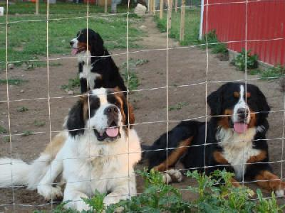 Bernese mountain dog And Saint Bernard