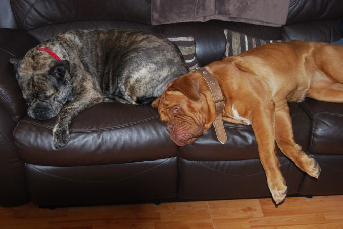 the mastiffs are considered to be large dogs and appear to be quite ...