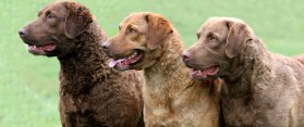 Know the Difference between Chesapeake Bay retriever And Labrador Retriever