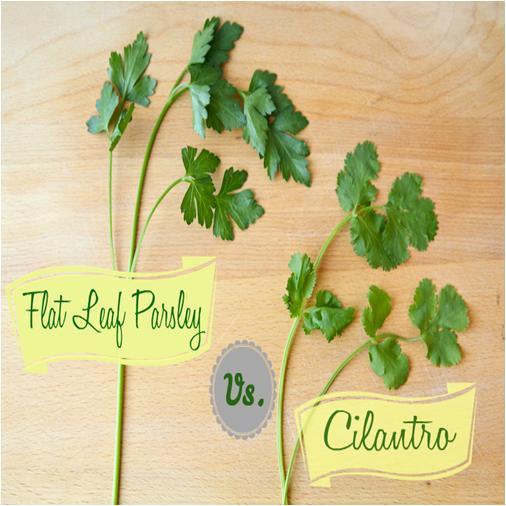 Cilantro and Parsley