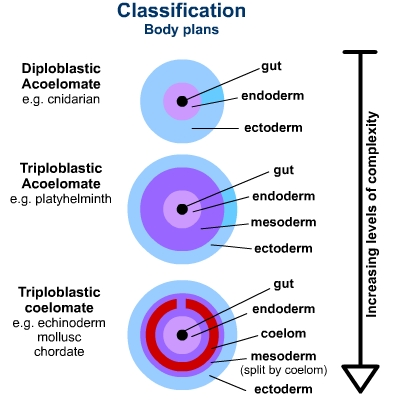 Difference between Diploblastic and Triploblastic