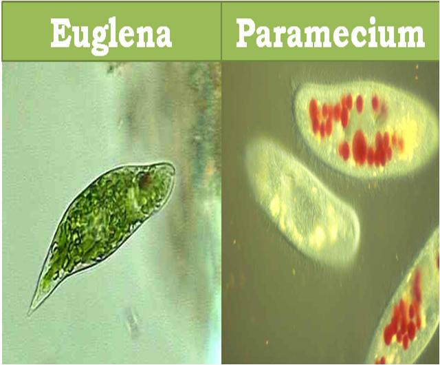 Euglena and Paramecium