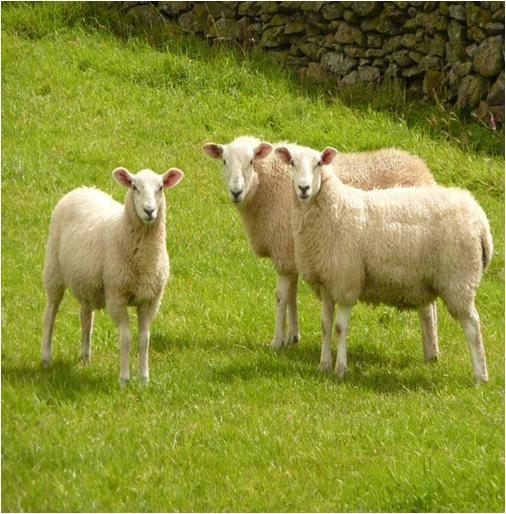 Ewe and Sheep
