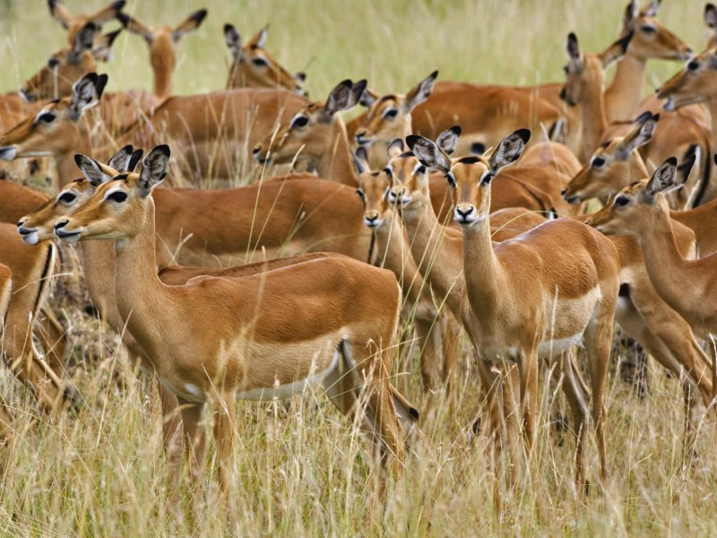 A herd of antelopes