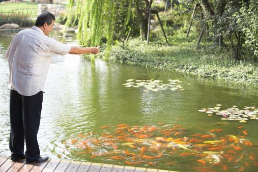 Man feeding koi carpe in fish pond