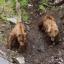 Kodiak and Grizzly Bear
